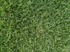 Fiji II Perennial Ryegrass