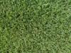 Belize Perennial Ryegrass