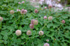 Strawberry Clover