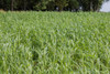 BMR 506x51 Sorghum Sudangrass (SxS)