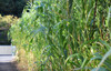 Sorghum Sudangrass (SxS), Wondergraze