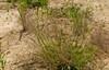 Bend Sand Lovegrass