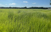 Moxie Teff Grass