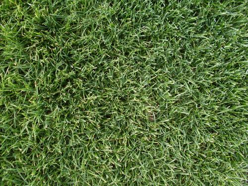 Perennial Ryegrass, Quickstart Blend