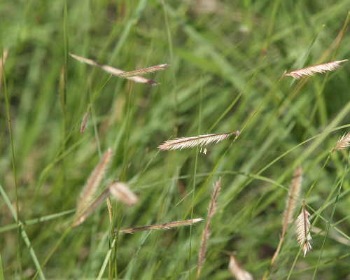 Homesteader's Choice - Native Grass Mixture