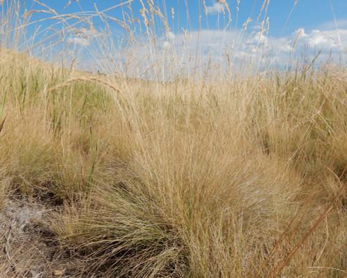 Santa Fe Trail - Native Grass Mixture
