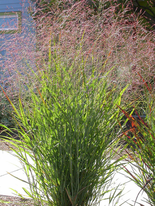 Blackwell Switchgrass