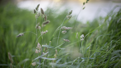 Buffalograss, Texoka