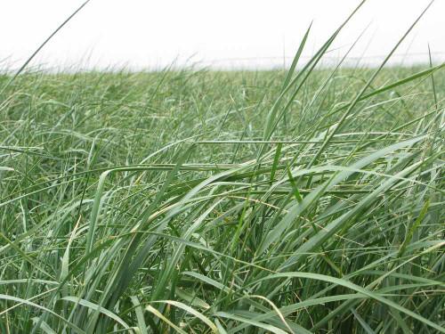 Jose Tall Wheatgrass
