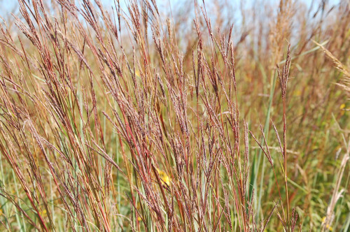 Big Bluestem, Kaw