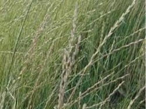 Intermediate Wheatgrass