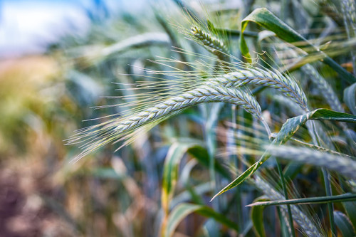 Trical 813 - Beardless Triticale