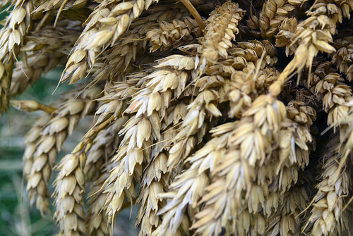 Beardless Wheat