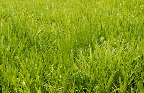 Gulf Annual Ryegrass