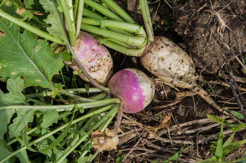 Barkant Turnip