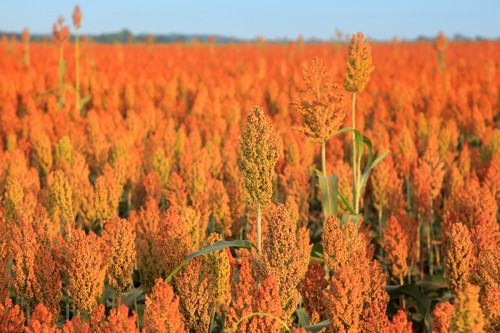 Early Sumac (Red Top Cane) Sorghum