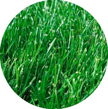 Lush Green Grasses