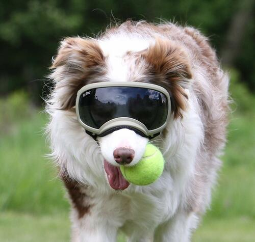 Rex Specs dog goggles are protective eyewear for the active dog. They are stable and secure while still allowing for full jaw motion and field of view. Rex Specs protect your dogs eyes from debris, environmental hazards, and sun.