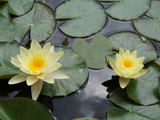 How to Divide or Repot Water Lilies