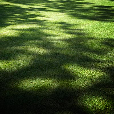Established Sod in the Shade
