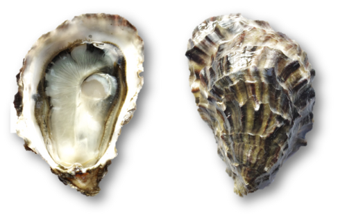 Grassy Bar Oysters  - 1 Dozen