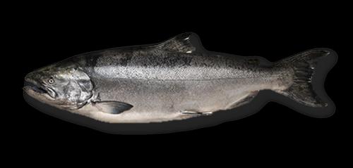 California King Salmon aka Chinook