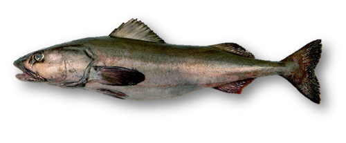 California Blackcod - Whole Fresh  - Hook & Line Caught