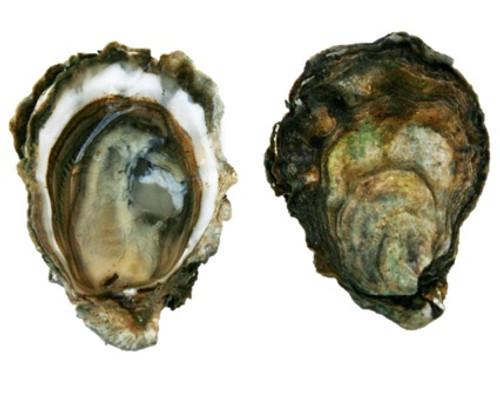 Kumamoto Oysters - 1 Dozen