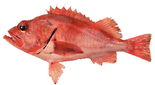 Rockfish - Whole Fish - Cleaned and Frozen