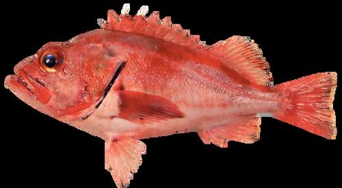 Rockfish - Whole 3-4/lb Larger Fish