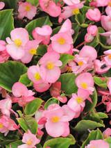Begonia - Colorpack
