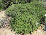 Yankee Point California Lilac