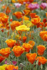 Mission Bells California Poppy Seeds