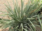 Cassa Blue Flax Lily