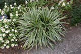 Silvery Sunproof Variegated Lily Turf