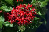 Graffiti® Red Velvet Star Flower