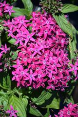 Graffiti® Violet Star Flower
