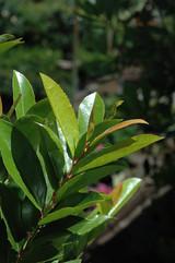 Compact Cherry Laurel