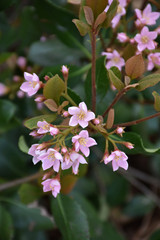 Pink Lady Indian Hawthorn