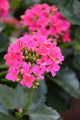 Kalanchoe Blossfeldiana - 4 inch