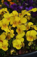 Viola - Colorpack