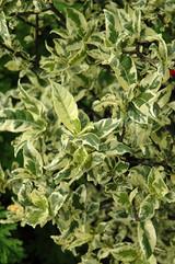 Mystery Variegated Gardenia