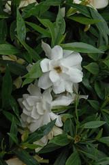 Radicans Miniature Gardenia
