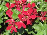 Blizzard® Dark Red Ivy Leaf Geranium