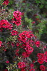 Ruby Glow Tea-Tree