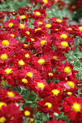 Garden Mum 'Bonnie' Red Daisy