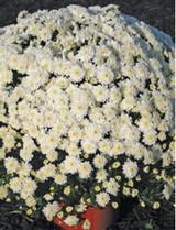 Garden Mum 'Chelsey' White