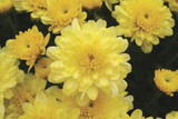 Garden Mum 'Chelsey' Yellow