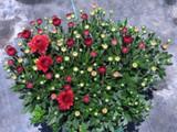 Garden Mum 'Cheryl Jolly Red'