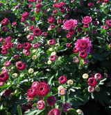 Garden Mum 'Cheryl' Pink